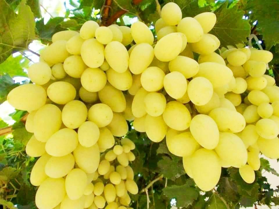 محصول العنب بالأقصر يبدأ في الظهور بالأسواق مع دخول الصيف (2)