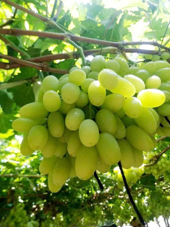 محصول العنب بالأقصر يبدأ في الظهور بالأسواق مع دخول الصيف (14)
