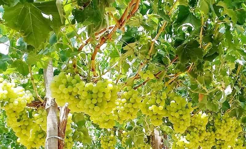 محصول العنب بالأقصر يبدأ في الظهور بالأسواق مع دخول الصيف (1)