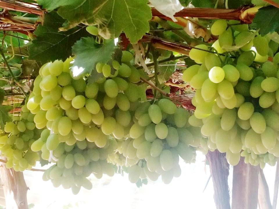 محصول العنب بالأقصر يبدأ في الظهور بالأسواق مع دخول الصيف (8)