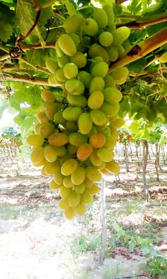 محصول العنب بالأقصر يبدأ في الظهور بالأسواق مع دخول الصيف (12)