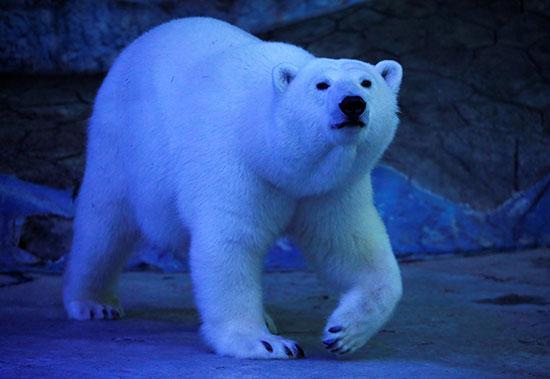 الدب القطبى (2)