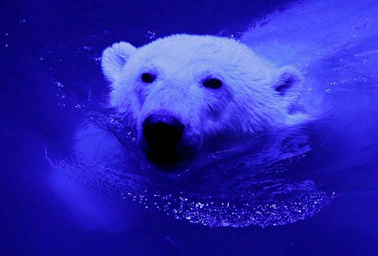 الدب القطبى فى المياه