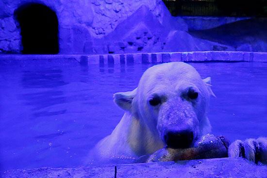 الدب القطبى