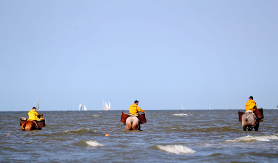 Horse Riders Mover The Net Into The Sea During Shrimp Fishing Festival in Belgium