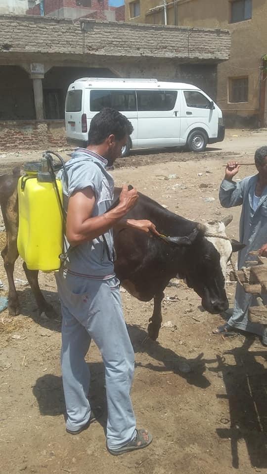 تحصين الماشية وحملة مشتركة بين كلية طب بيطري ومديرية الطب البيطري بكفر الشيخ  (2)