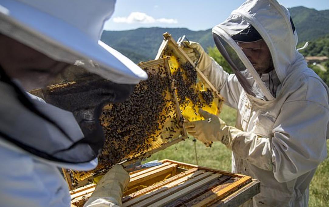 نقل مليون نحلة