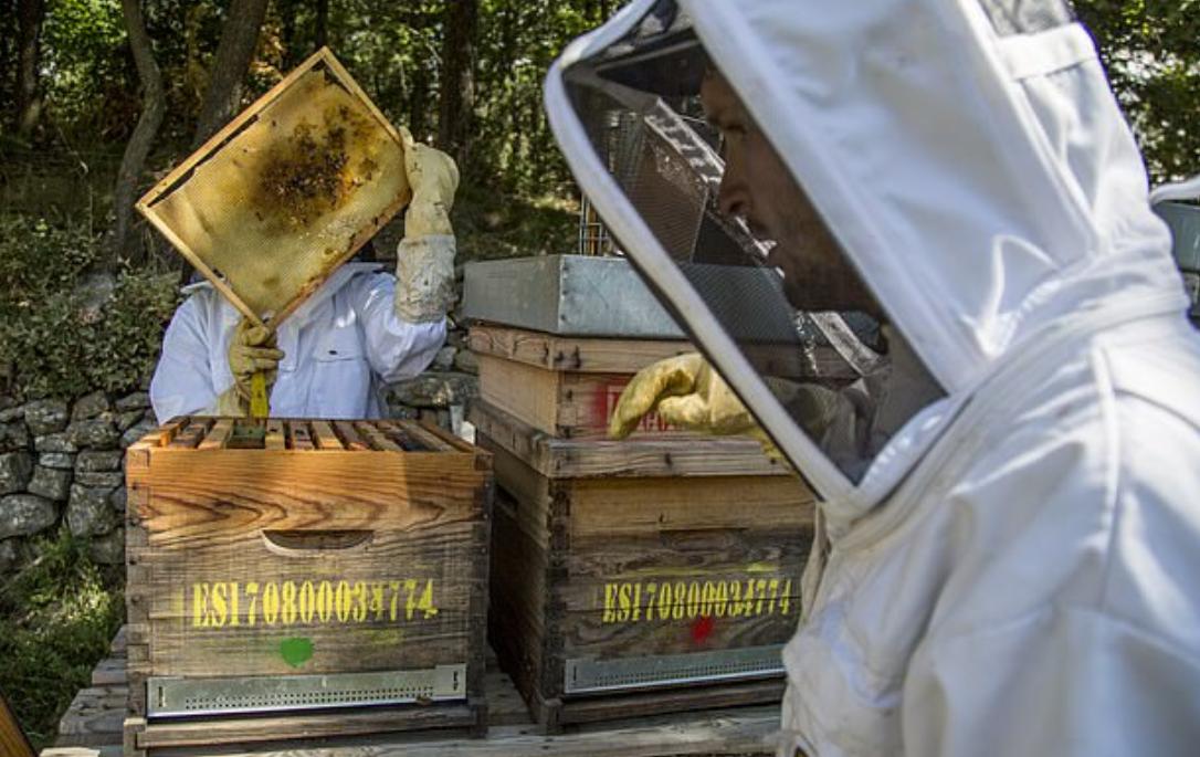 نقل النحل