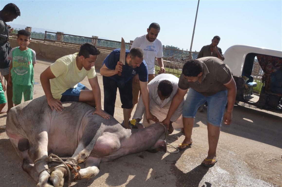 أهالي الأقصر يواصلون ذبح أضاحي العيد لليوم الثاني لتوزيع اللحوم علي الفقراء والأقارب (15)