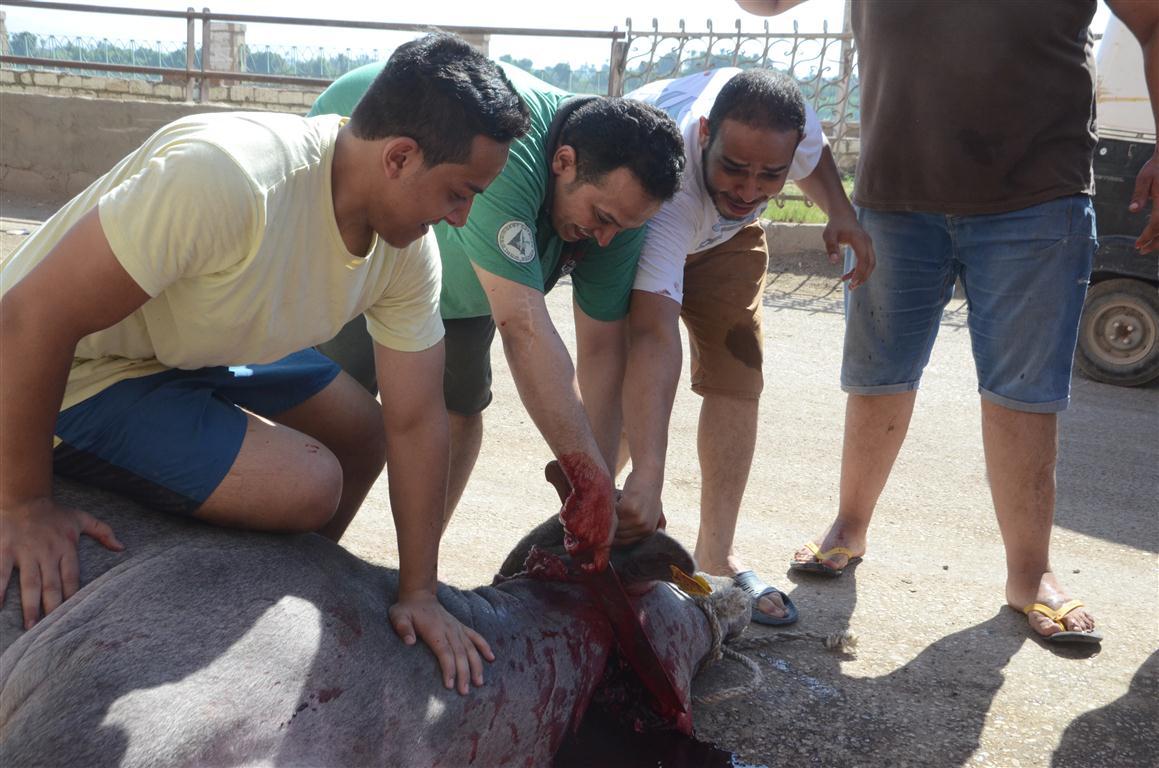 أهالي الأقصر يواصلون ذبح أضاحي العيد لليوم الثاني لتوزيع اللحوم علي الفقراء والأقارب (3)