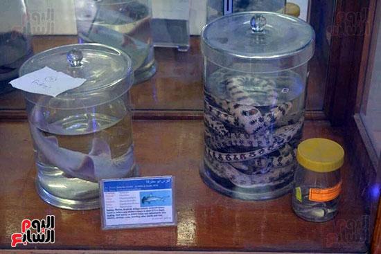 ثعابين-محفوظة-فى-سائل-داخل-المتحف