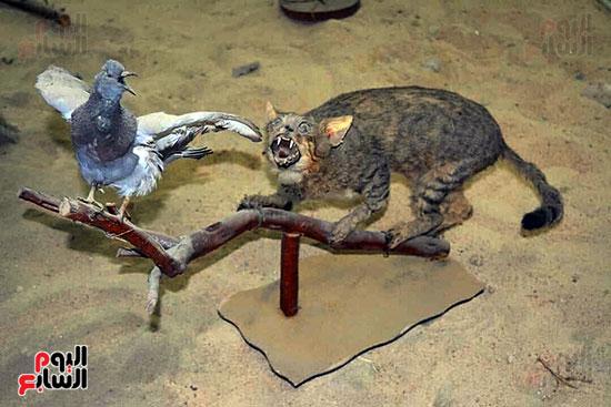 قط-برى-وبجواره-حمامة
