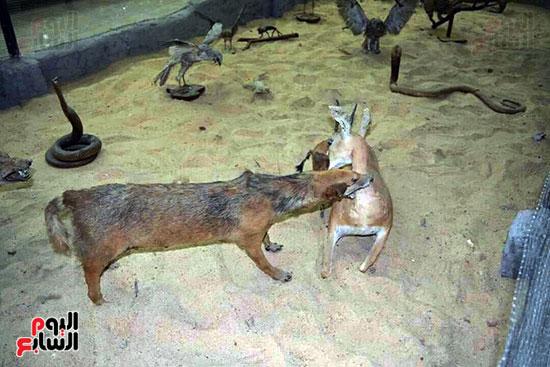 حيوان-برى-يفترس-غزالة