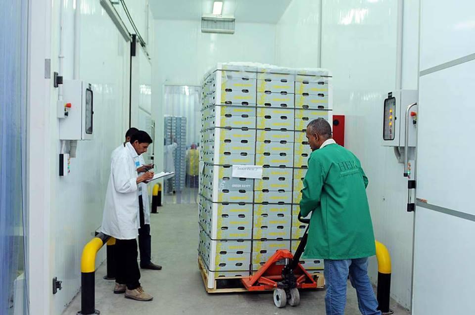 الأقصر تجهز محاصيلها الزراعية لتصديرها للخارج في محطتين للتعبئة والفرز والتغليف (18)