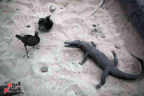تمساح-صغير-داخل-متحف-العلوم
