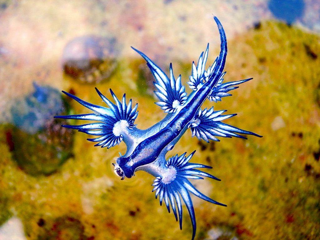 الأزرق Glaucus