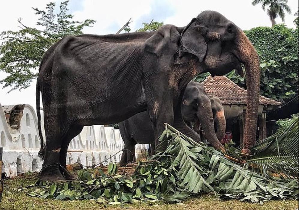الفيل تيكيرى