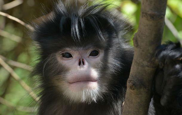 قرد الأنف القرد