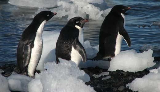 أديلي البطريق