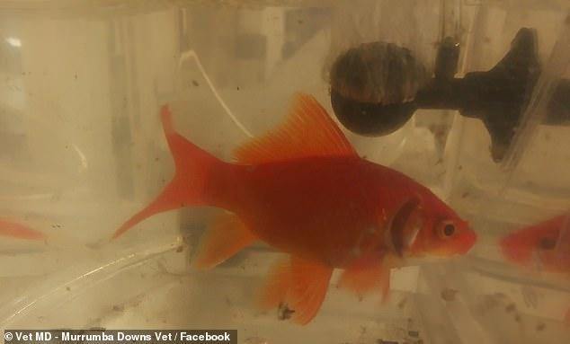 عملية جراحية لسمكة (1)