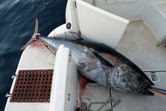 صيد سمك التونة (4)