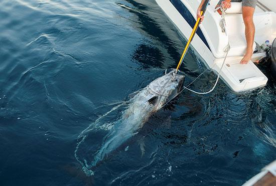 صيد سمك التونة (3)