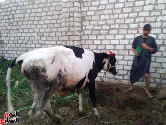 7--ماشية-مريضة--بالجلد-العقدي