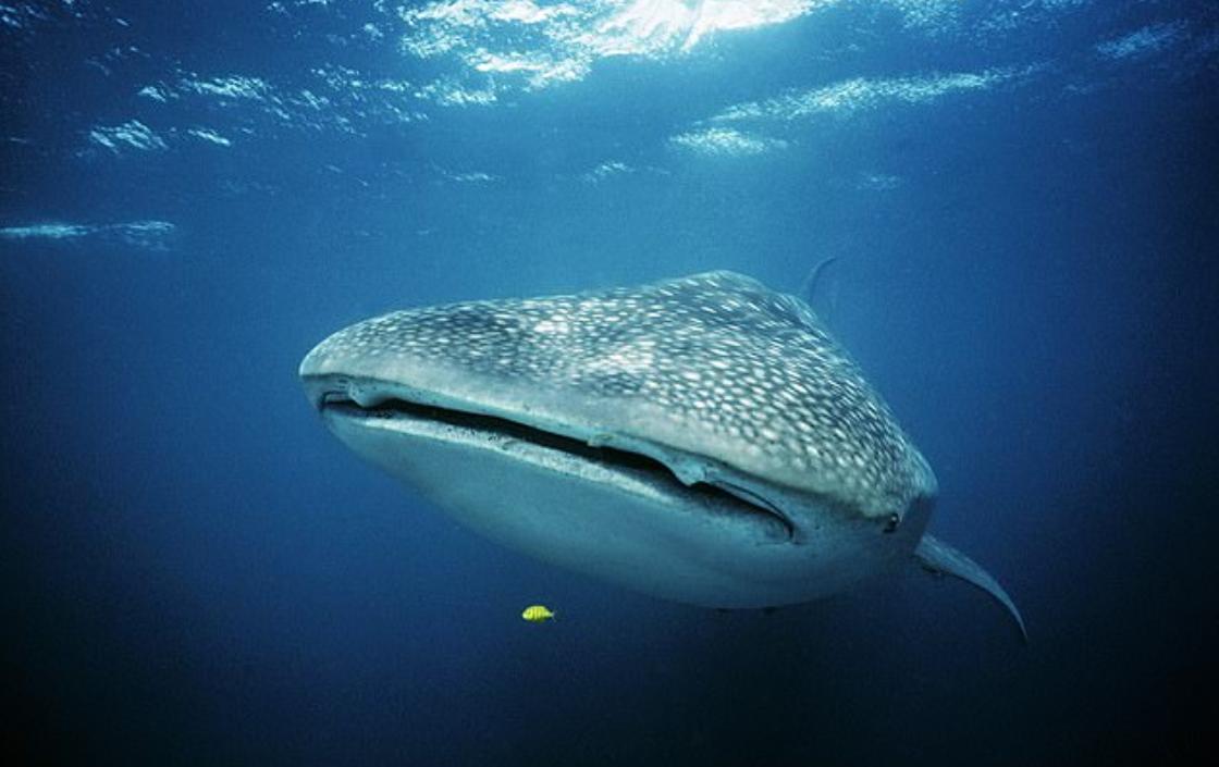 الحوت القرش