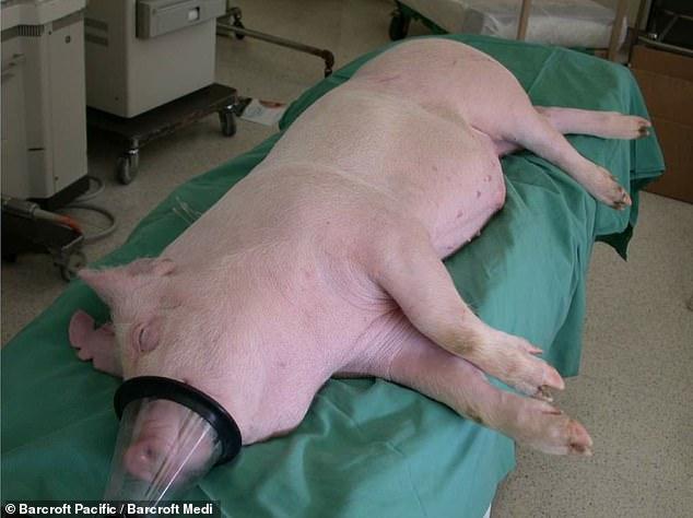 الاستعانة بقلوب الخنازير ونقلها للبشر