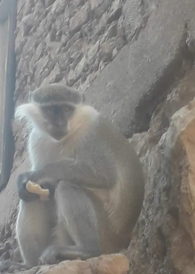 القرود (4)