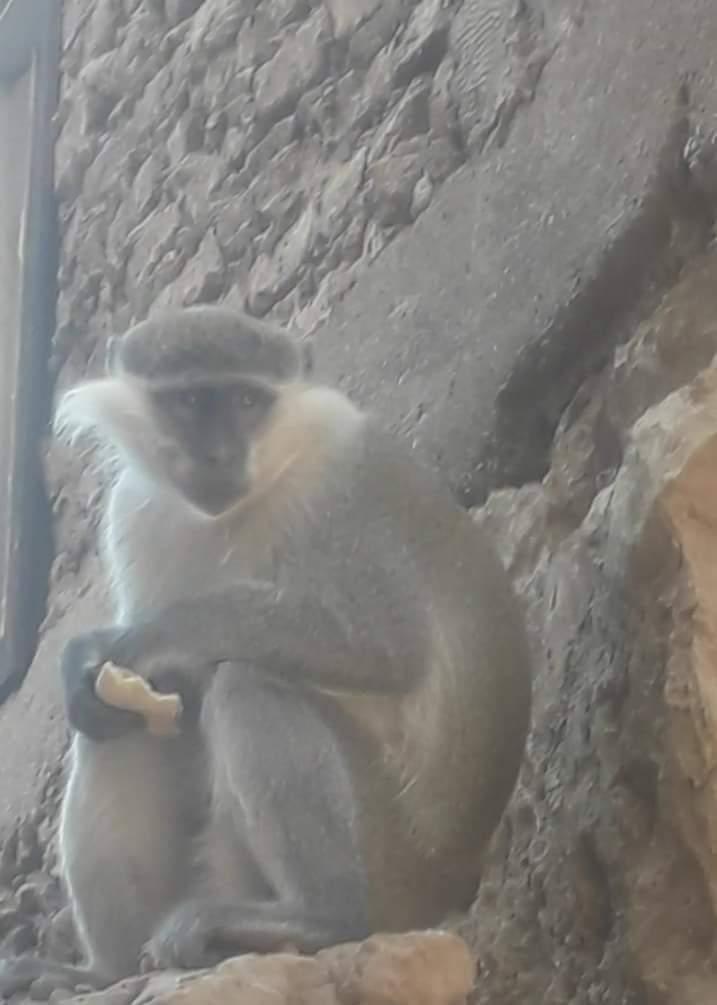 القرود (1)