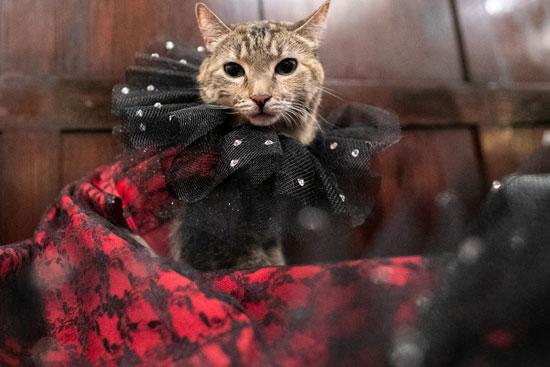 عرض أزياء للقطط فى نيويورك (8)