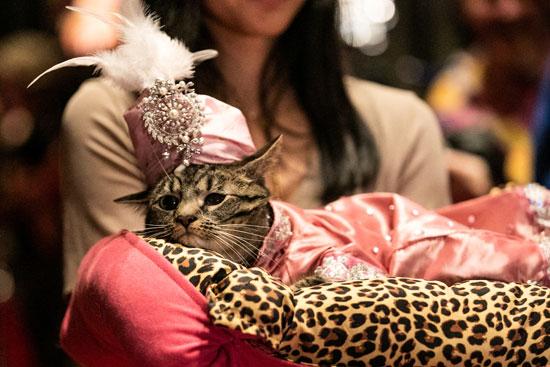 عرض أزياء للقطط فى نيويورك (11)