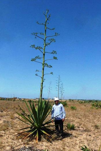 نبات السيسال يعد بعدد من الفوائد الاقتصادية (1)