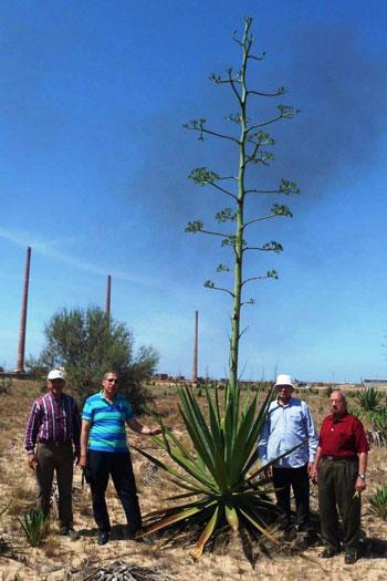 نبات السيسال يعد بعدد من الفوائد الاقتصادية (9)