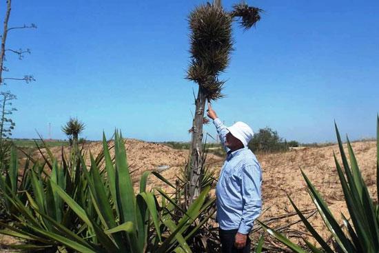 نبات السيسال يعد بعدد من الفوائد الاقتصادية (4)