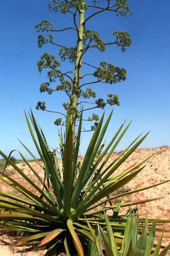 نبات السيسال يعد بعدد من الفوائد الاقتصادية (5)