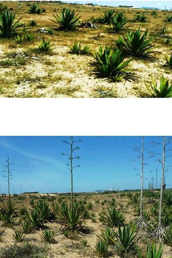نبات السيسال يعد بعدد من الفوائد الاقتصادية (2)
