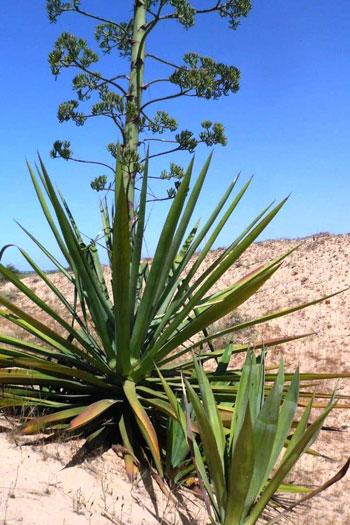 نبات السيسال يعد بعدد من الفوائد الاقتصادية (3)
