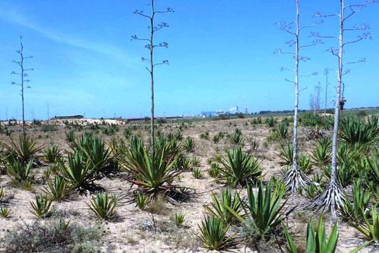 نبات السيسال يعد بعدد من الفوائد الاقتصادية (8)
