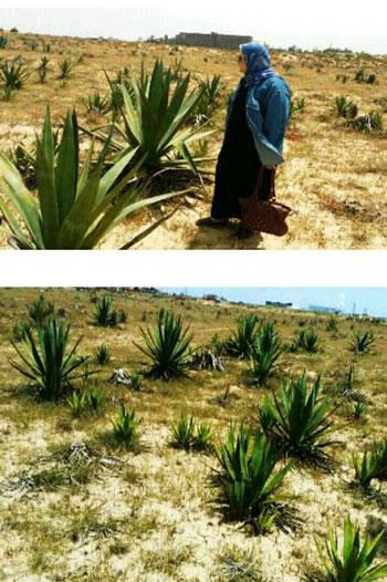 نبات السيسال يعد بعدد من الفوائد الاقتصادية (6)
