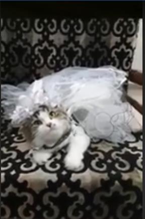 حفل زفاف لقط وقطة (2)