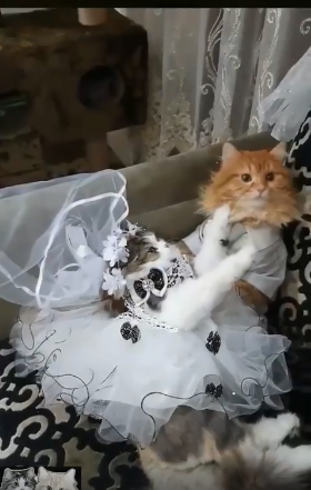 حفل زفاف لقط وقطة (1)