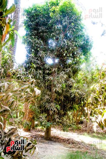 محصول المانجو