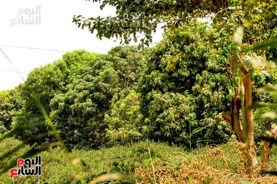 أشجار المانجو