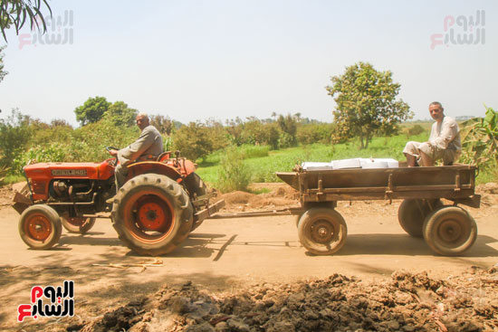 نقل المانجو بواسطة الجرار الزراعي
