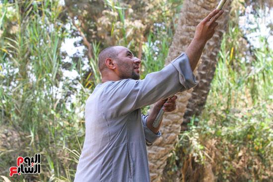 محمود يحصد محصول المانجو (2)