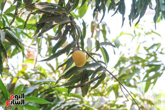 نبات المانجو