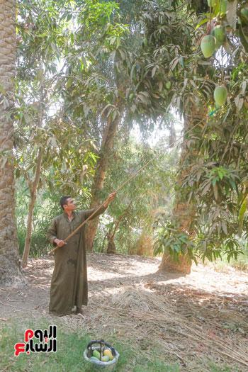 حصاد المانجو من الاشجار