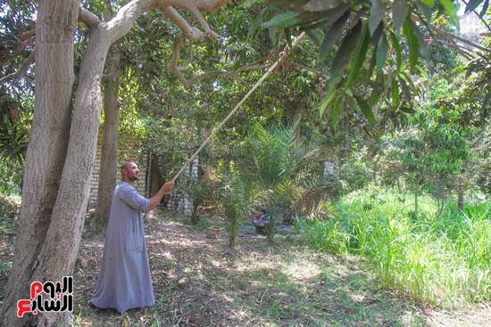 يحصد المانجو من علي الاشجار
